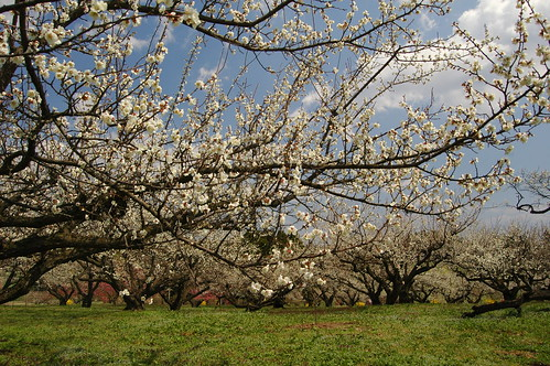 trees flower japan landscape spring plum 東北 miyagi 梅の花 岩出山 宮城県大崎市