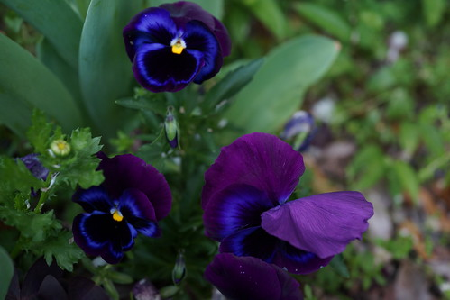 青紫系のパンジー