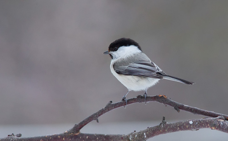 Northern Willow Tit