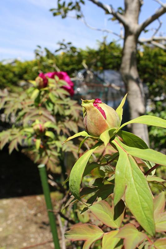 庭のボタンの花のつぼみ peony