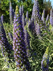 hyssopus(0.0), english lavender(0.0), digitalis(0.0), foxtail lily(0.0), annual plant(1.0), flower(1.0), garden(1.0), plant(1.0), herb(1.0), wildflower(1.0), flora(1.0), delphinium(1.0),