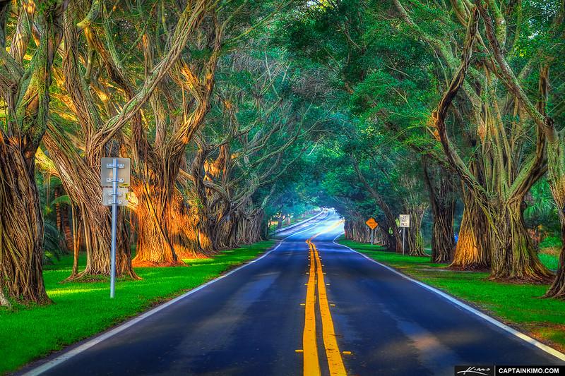 Banyan-Trees-Along-Bridge-Road-at-Hobe-Sound-Florida