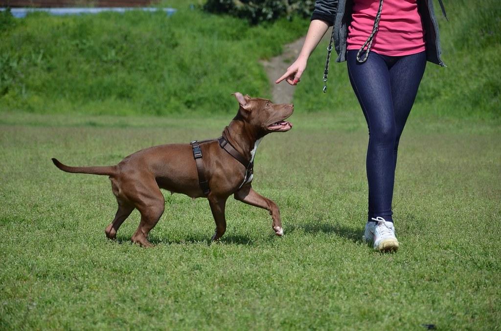 rottweiler and pitbull mix puppies pitbull mix puppies