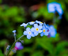 Forgetmenots Closeup