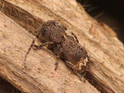 Pterolophia granulata アトモンサビカミキリ