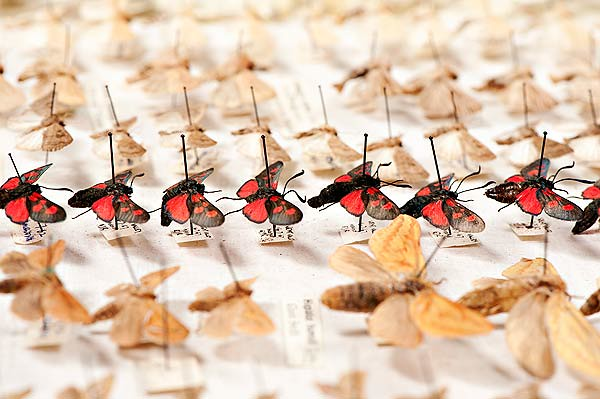 Moths in an insect drawer