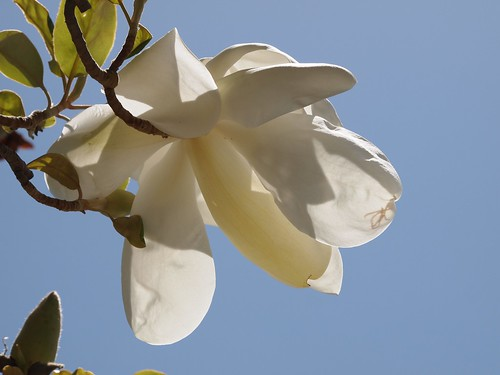 In the neighborhood…Magnolia grandiflora - 01