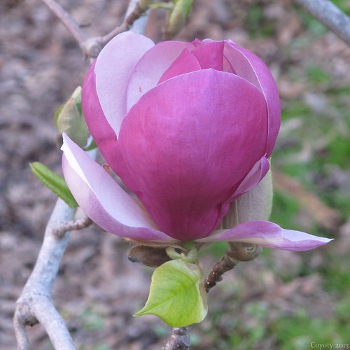 Elizabeth Park magnolia blossom by Coyoty