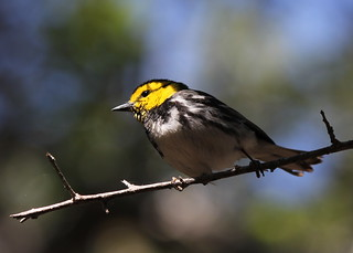 Golden Cheeked Warbler | by Jason Crotty