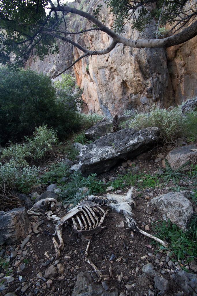 Dead Goat?