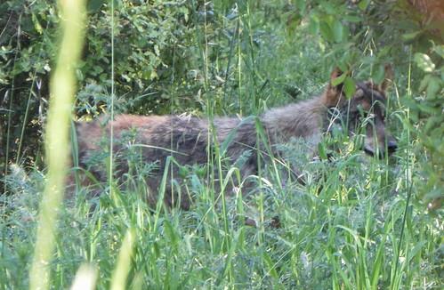 Os Lobos da Malveira 60 by LuPan59