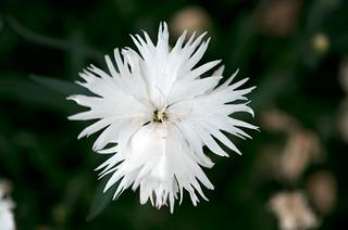 White purity