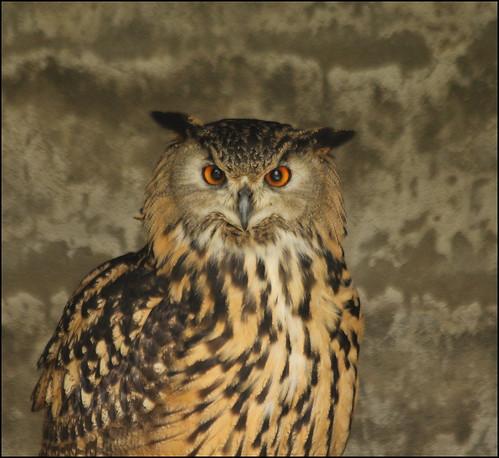 eaglesflying ireland sligo bird owl eagleowl bubobubo europeaneagleowl