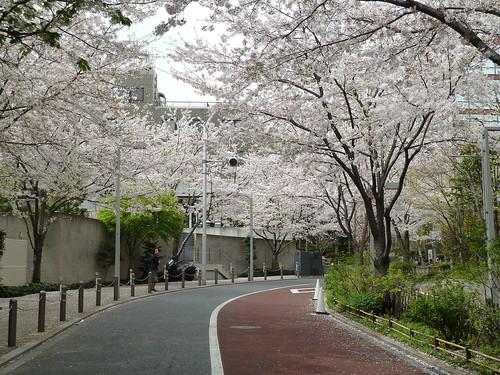 さくら坂の桜のトンネル~♪