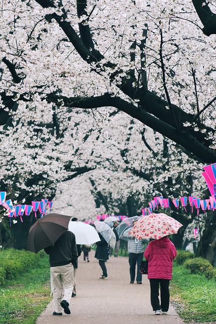 Sakura 2013 (Gongendo #2)