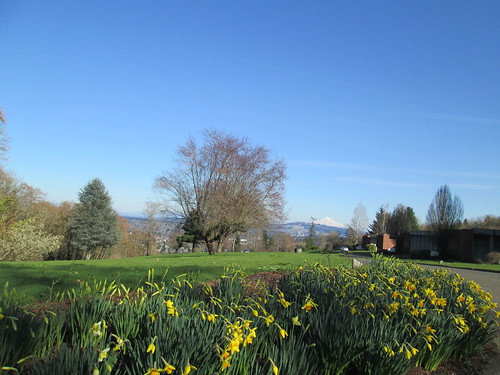 Daffodils and Mt Hood