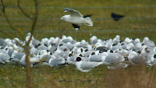 Summer plumaged Med Gull, MVCP