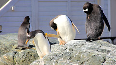 animal, zoo, penguin, flightless bird, fauna, king penguin, beak, bird,