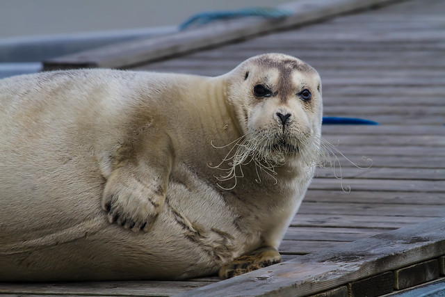 Bearded Seal Caught Napping