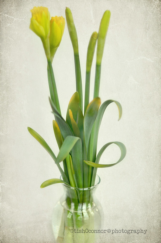 daffodils with texturesDSC_1652