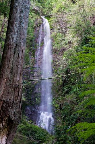 白藤の滝 2012.4.12-2