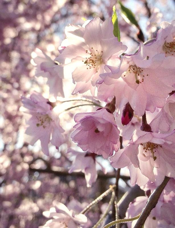 BLAZAM flowering tree