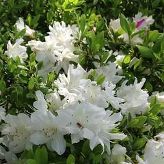 shrub, flower, plant, azalea,