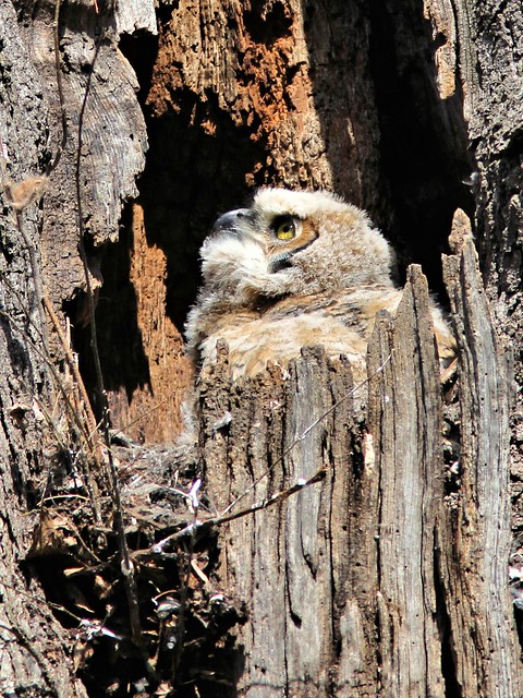 Great Horned Owlet watching airplane20130422