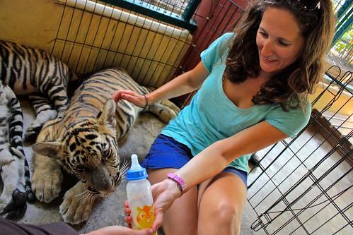feeding baby tigers