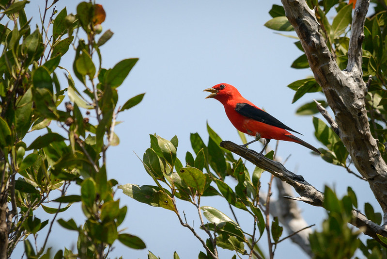 Singing Scarlet Tanager