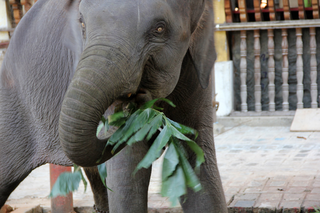 A hungry elephant at Gangamaraya Temple