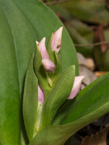 Galearis spectabilis with color showing in the buds