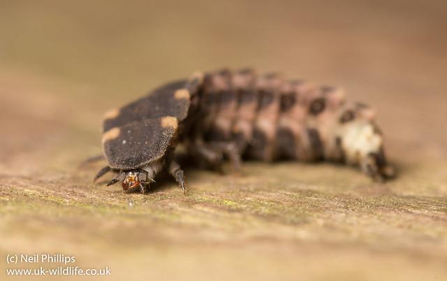 Glow worm larva Lampyris noctiluca-4
