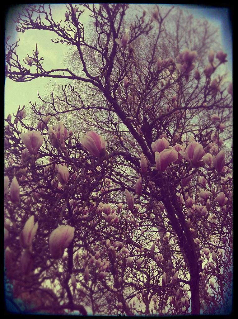 magnolia old
