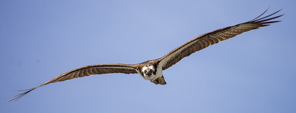 Osprey making a pass...has me in his sights!