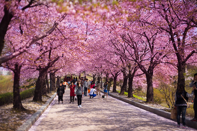 Seoul Cherry Blossoms [Explored]