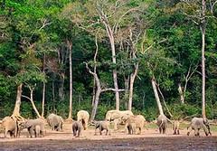 森林象,學名Loxodonta cyclotis,聚集在Dzanga Sangha保護區內的的Dzanga Bai林地。攝於2013年1月。(圖片由Carlos Drews/WWF-佳能提供)。