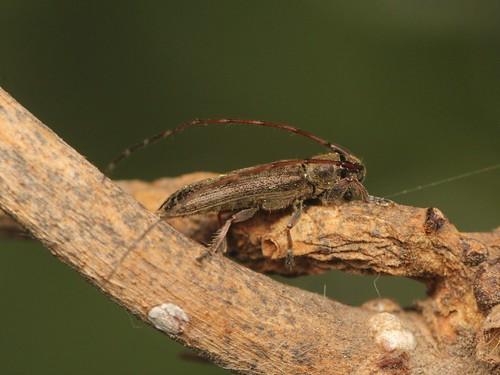 Asaperda agapanthina シナノクロフカミキリ