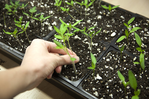 Thinning Seedlings
