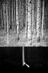 Stage Birches