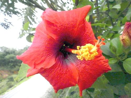 flor hibiscus hibisco es hibiscusrosasinensis vermelha espíritosanto regis púrpura rosasinensis florvermelha silbar ibiraçu ibiraçues regissilbar