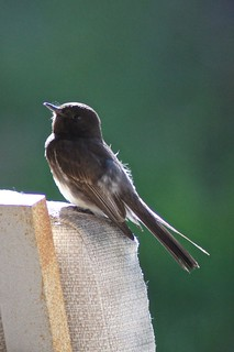 Weekly Photo 20/52 for 2013: Little Bird by Kristen Koster on Flickr