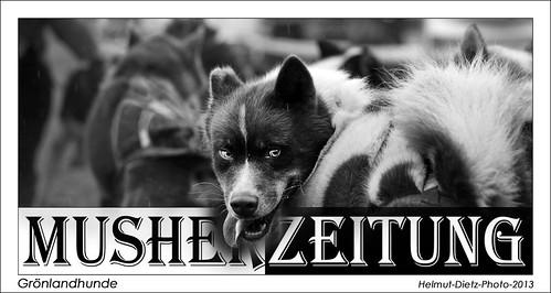 Grönlandhunde, Schlittenhunde im Tierpark, Helmut-Dietz-Photo-2013