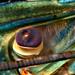 Eye of a Freshwater blueclaw Crayfish