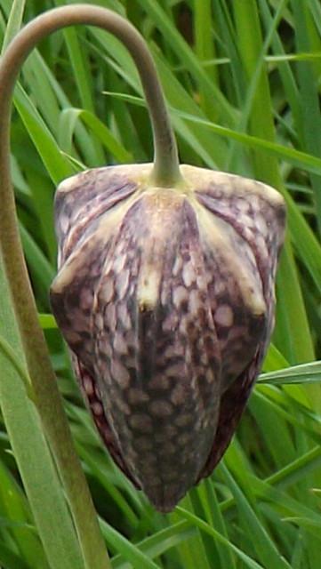 Snake's Head Fritillary Fritillaria, Fujifilm FinePix S4230