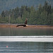 Bald Eagle Fishing by Duncan Jacob