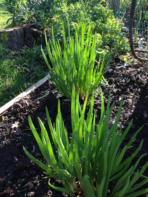 Scallions in March
