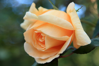 Orange rose of Orange