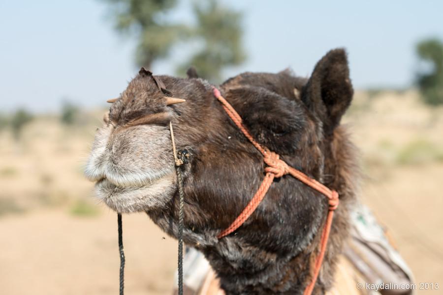 верблюд индийский