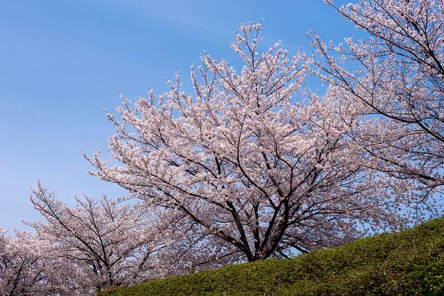 Sakura 2013 @Sakai
